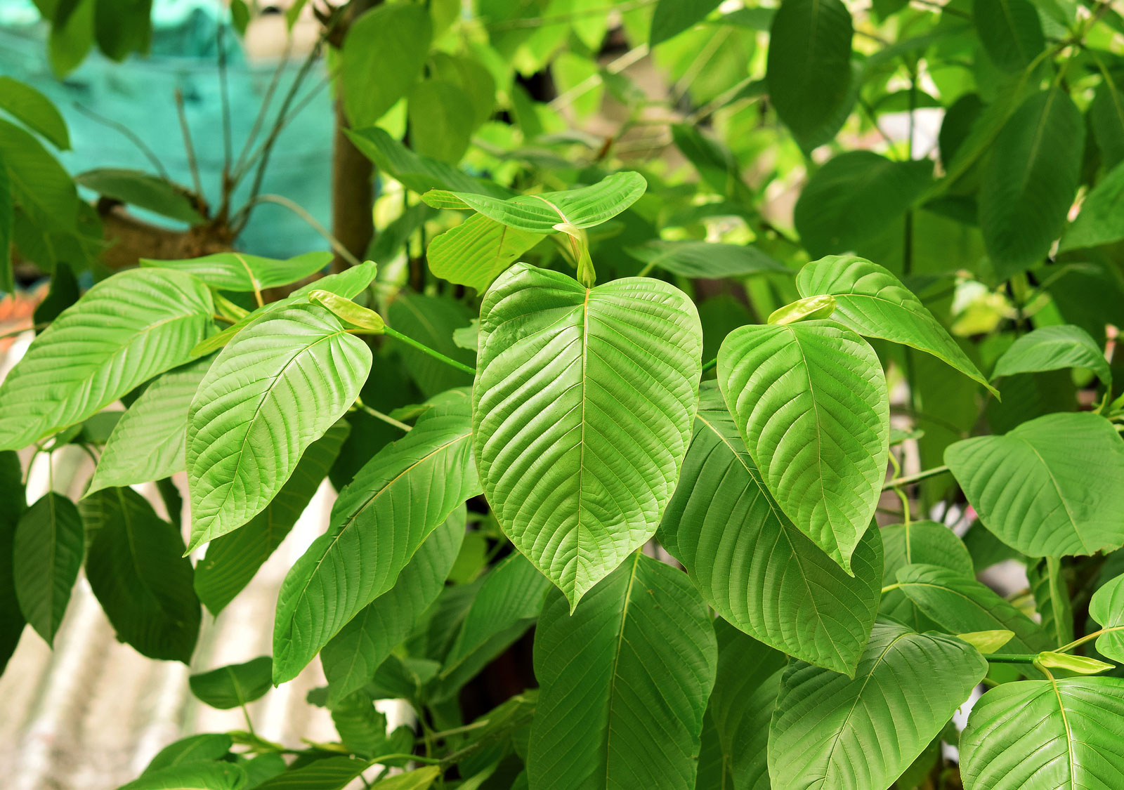 A gorgeous example of a Kratom tree and its leaves