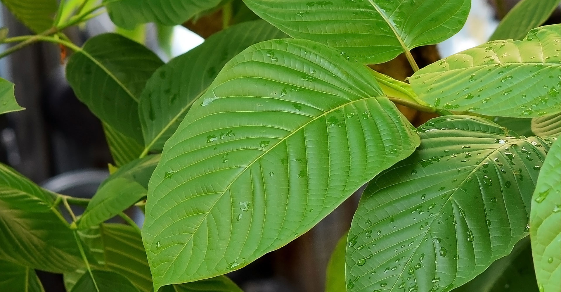Mouth water look at up close Kratom leaves