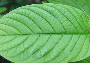 Green vein kratom sold in Columbus and Bellevue near Cincinnati